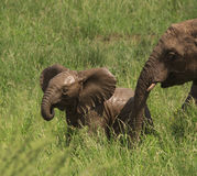 Muddy baby elephant in green grass. Muddy baby elephant with mother in the green grass royalty free stock photography