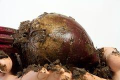Muddy Beet Held in Handen stock foto