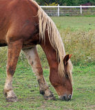 Muddy Belgian gelding. Grazes in the field Stock Photo