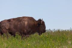 Muddy Bison Profile royaltyfri foto