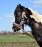 Muddy Black And White Horse attaché Photographie stock libre de droits
