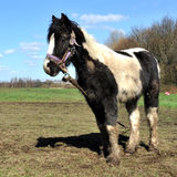 Muddy Black And White Horse attaché Images libres de droits