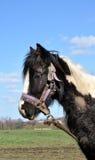 Muddy Black And White Horse legato Immagini Stock Libere da Diritti