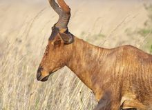 Muddy Blesbok face Royalty Free Stock Image
