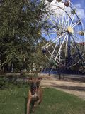 Muddy brindle boxer dog plays in front of abandoned Ferris wheel. stock images