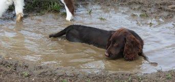 A Muddy brown working type cocker spaniel pet gundog lying in a mu Royalty Free Stock Images