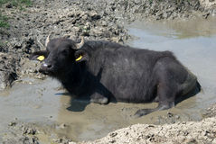 Muddy buffalo Royalty Free Stock Photos