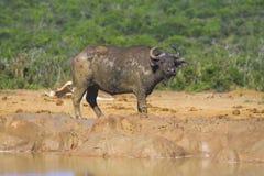 Muddy Buffalo. Muddy Cape Buffalo at the waterhole Royalty Free Stock Photo