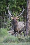Muddy Bull Elk fotografia stock libera da diritti