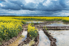 Muddy canola field. Stock Images