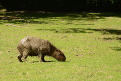 Muddy Capibara. Near the water Royalty Free Stock Images