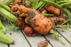 Muddy carrot Stock Image