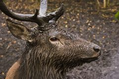 Muddy curious deer. This young male deer is very muddy and curious Royalty Free Stock Images