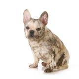 Muddy dirty dog stock photos
