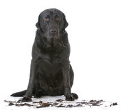 Muddy dirty dog. Sitting on white background royalty free stock photography