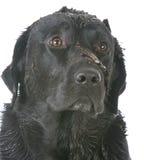 Muddy dirty dog Stock Photography