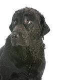 muddy dirty dog stock image
