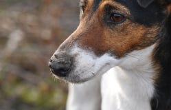 Muddy Dog Royalty Free Stock Image