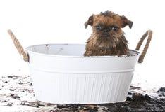 Muddy dog getting a bath Royalty Free Stock Photo