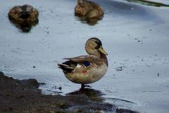 Muddy duck Stock Photo