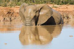 Muddy Elephant Royalty Free Stock Images