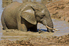 Free Muddy Elephant Royalty Free Stock Image - 22827546