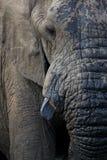 Muddy Elephant Closeup Fotografia Stock Libera da Diritti