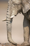 Muddy Elephant portrait Royalty Free Stock Photo