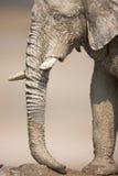 Muddy Elephant portrait royalty free stock photo