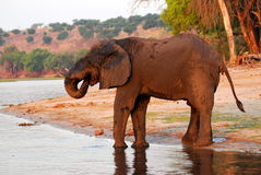 Muddy Elephant profile 3. An african elephant full of mud drinking water Stock Images