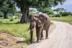 Muddy elephant in Tarangire Park, Tanzania Royalty Free Stock Image