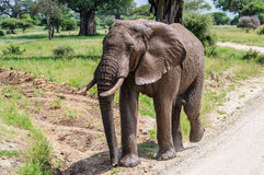 Muddy elephant in Tarangire Park, Tanzania Stock Photo
