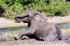 A muddy Elephant trying to remove mud from its eye Royalty Free Stock Photo