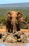 Elephants swimming in waterhole Stock Photos
