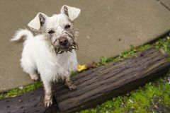 To a Dog Digging a Hole is Great Fun. Muddy faced small white mix breed dog with huge ears, sitting on a concrete patio and a wooden step looking up at the Stock Photos