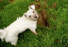 The Chase of a Gohper. Muddy faced small white mix breed dog looking at the camera next to hole she dug on the lawn trying to catch a gopher royalty free stock image