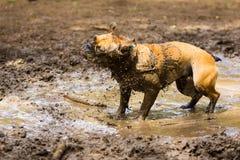 Muddy French Bulldog Photo libre de droits