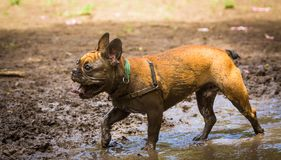Muddy French Bulldog Image stock
