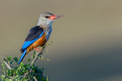 Muddy Grey-headed Kingfisher Royalty Free Stock Photo