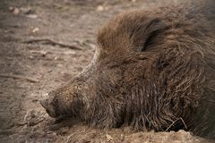Muddy head of wild boar lying asleep Stock Photo