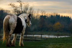 Muddy Horse In Autumn Field. A large white and black shire horse pictured standing on green grass in a rather muddy state. He gazes at a fence over which lies a stock image