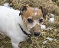 Muddy Jack Russell Terrier. A Jack Russell Terrier just finished digging a hole in the ground and face covered with mud stock photo