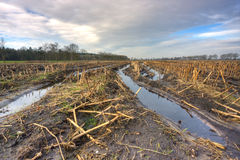 Muddy maize field Stock Images