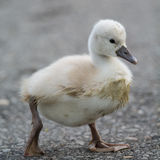 A muddy Mute Swan cygnet walking on a path Stock Photo