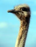 Muddy-necked Ostrich Oudtshoorn Stock Photo