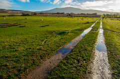 Muddy path crossing green sheep pastures. In a Scottish farm Royalty Free Stock Image