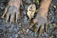 Muddy Paws. Closeup shot of muddy Bloodhound paws stock image