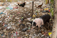 Muddy pig eating in a pile of garbage Royalty Free Stock Photos