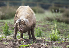Muddy Pig Stock Images