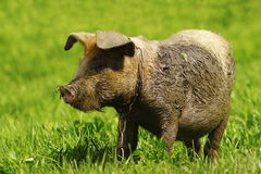 Muddy pig on lawn Royalty Free Stock Photo